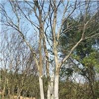 湖北朴树—京山朴树