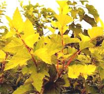 金叶风箱果,紫叶风箱果,金叶接骨木