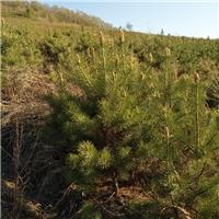 樟子松2米到2.5米 1.5米到2米