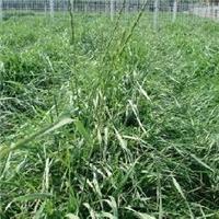 护坡牧草 披碱草种子 现货批发报价