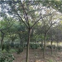 5-30公分樟树哪里有