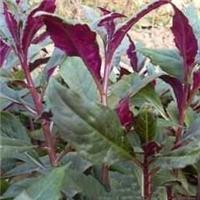 补血菜种苗,紫背天葵种苗,散血子种苗