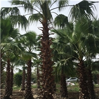 批发各种规格大型绿化景观树老人葵物美价廉