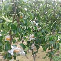 梨树苗品种 1-3公分梨树苗报价