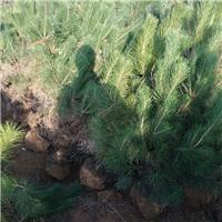 1米油松价格=1.5米=2米定植油松价格