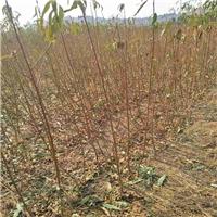 映霜红桃树苗,1-3公分桃树苗报价