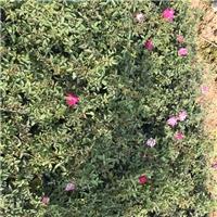 盆栽地栽绿化工程小苗丰花月季批发价供应