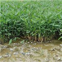 再力花|群锋水生植物有限公司基地直销