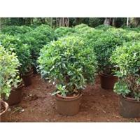 漳州种植基地大量供应规格齐全非洲茉莉球