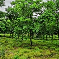 现在20公分榉树价格_精品3-30公分榉树报价