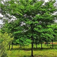 现在18公分榉树价格_精品3-30公分榉树报价