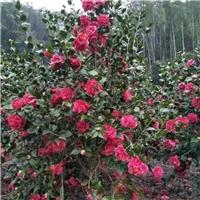 大量供应绿化工程五宝茶花 品种规格齐全