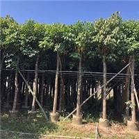 种植基地批发供应绿化乔木秋枫 规格齐全