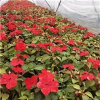 广州花卉供应基地供应四季易种凤仙质优价廉