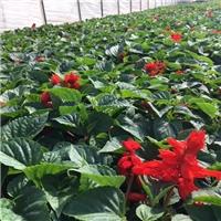地被可盆栽花草小苗一串红长期特价供应