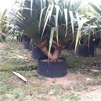 行道庭园工程用树红刺林投大量批发供应