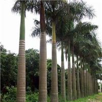 批发风景园艺大型树大王椰子 规格齐全