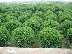 四季常青净化空气绿植盆栽非洲茉莉球
