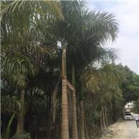 福建苗木基地低价供应大王椰子 多规格供应