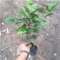 园林绿化工程用地被小苗青叶扶桑批发供应