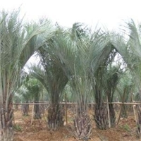 基地供应多规格大型景观树布迪椰子
