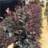 超低价供应大量绿化小苗木红花��木