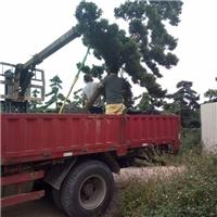 四季开花盆栽植物罗汉松长期大量供应