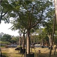 普宁批发供应名贵风景树种凤凰木 规格齐全