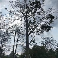 基地直销精品行道绿化树澳洲火焰木
