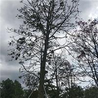 常年大量供应精品绿化行道树澳洲火焰木