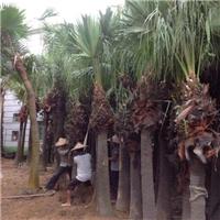 景观树种植基地批发供应高杆蒲葵