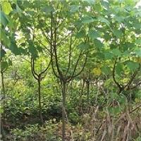 特价批发供应绿化常用苗木木芙蓉小苗