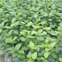 基地供应庭园园林绿植重瓣扶桑 量大从优