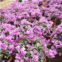 大量供应优质七彩盆栽花卉苗三角梅