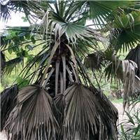 常年批发供应各种规格大型景观树老人葵