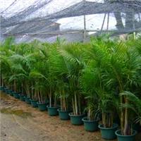 室内大型净化空气绿植散尾葵多规格大量供应
