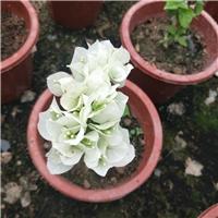 基地供应各种规格盆栽花卉三角梅
