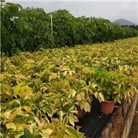 大量批发供应彩叶绿化小苗花叶鹅掌柴