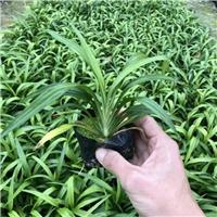 沐阳苗木基地大量供应常绿耐寒地被吉祥草