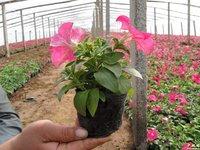 青州花卉基地大量供应七彩盆栽花卉矮牵牛