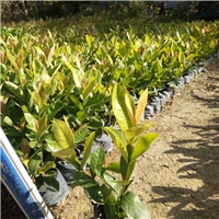 福建种植基地多规格供应地被苗龙船花