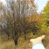 5米丛生刺槐,6米丛生刺槐,3,4,5分支丛