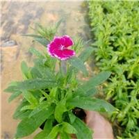 花卉基地直销供应园林绿化花卉石竹物美价廉