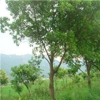 大量批发供应规格齐全绿化乔木红皮榕