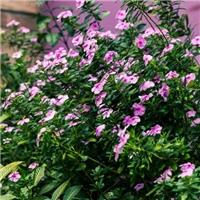 常年大量供应可盆栽多年生草本绿植长春花