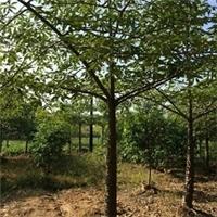 哪里有自产自销基地供应精品绿化树木棉