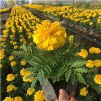 大量供应园林绿化观花植物万寿菊 物美价廉