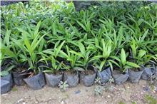 四季常青园林绿化盆栽绿化植物细叶棕竹厂