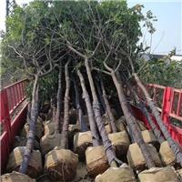 园林绿化工程乔木黄花槐 多规格大量供应