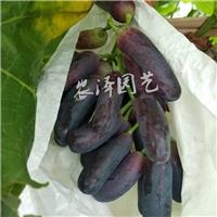 优质甜蜜蓝宝石葡萄苗供应 甜蜜蓝宝石葡萄苗厂家